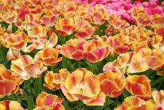 Tulipany Wiosna Tło Zdjęcie Stock