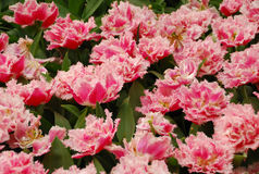 Tulipany Wiosna Tło Obrazy Royalty Free