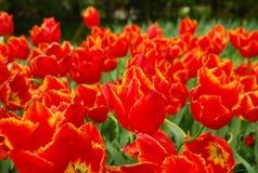 Tulipany Wiosna Tło Fotografia Stock