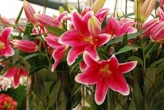 Tulipany Wiosna Tło Zdjęcie Royalty Free