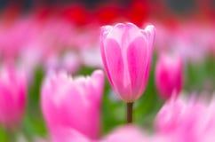 Tulipany Wuhan ogród botaniczny Zdjęcie Royalty Free