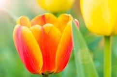 Tulipany Wuhan ogród botaniczny Zdjęcia Royalty Free