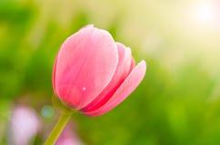 Tulipany Wuhan ogród botaniczny Zdjęcie Stock