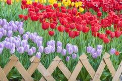 Tulipany Wuhan ogród botaniczny Obrazy Stock