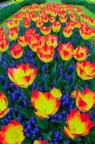 Tulipany z Muscari Zdjęcie Royalty Free