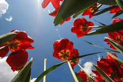 Tulipany z niebem Zdjęcia Stock