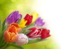 tulipany z wodnymi kroplami zdjęcia royalty free