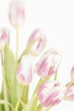 Tulipany z zatartymi kolorami Obrazy Stock