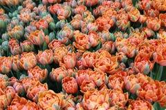 Tulipany zmienia kolory Fotografia Royalty Free