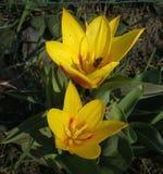 Tulipas adiantadas amarelas com as folhas listradas verdes fotografia de stock