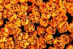 Tulipas alaranjadas, amarelas e vermelhas da mola da chama que começam a florescer durante o tempo de mola em Amsterdão, Países B Fotos de Stock Royalty Free