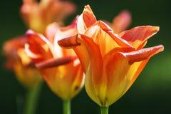 Tulipas alaranjadas de florescência, fim acima Imagem de Stock