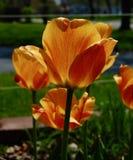 Tulipas alaranjadas e amarelas na flor fotografia de stock royalty free
