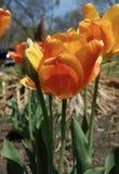 Tulipas alaranjadas e amarelas na flor imagem de stock royalty free