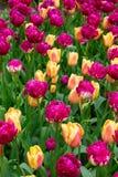 Tulipas alaranjadas e violetas Imagens de Stock