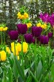 Tulipas alaranjadas e violetas Foto de Stock Royalty Free