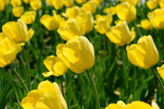 Tulipas amarelas Fotos de Stock