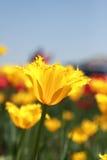 Tulipas amarelas Fotografia de Stock Royalty Free