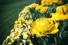 Tulipas amarelas Imagem de Stock
