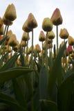 Tulipas amarelas Foto de Stock Royalty Free