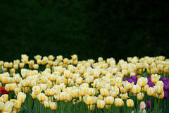 Tulipas amarelas Foto de Stock
