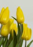 Tulipas amarelas, baixa perspectiva Imagens de Stock Royalty Free