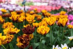 Tulipas amarelas bonitas que crescem no parque no dia ensolarado Imagem de Stock Royalty Free