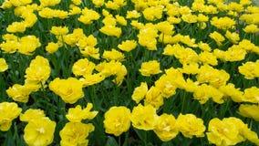 Tulipas amarelas brilhantes Imagem de Stock