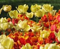 Tulipas amarelas com as tulipas vermelhas e amarelas fotografia de stock