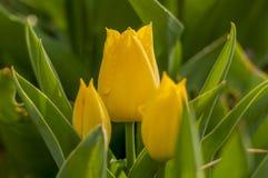 Tulipas amarelas com folhas verdes Imagens de Stock Royalty Free