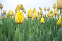 Tulipas amarelas com orvalho Fotografia de Stock Royalty Free