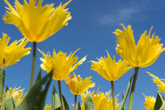 Tulipas amarelas contra um céu azul Imagens de Stock