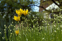 Tulipas amarelas da floresta, flores em botão, hastes verdes e folhas Fotos de Stock