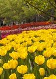 Tulipas amarelas de florescência Imagens de Stock Royalty Free