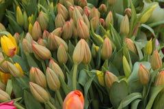 Tulipas amarelas e alaranjadas antes da flor, na exposição no mercado dos fazendeiros Imagens de Stock