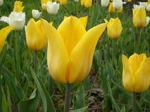 Tulipas amarelas e tulipas franjadas brancas que crescem no campo imagens de stock