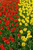 Tulipas amarelas e vermelhas Fotografia de Stock