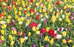 Tulipas amarelas e vermelhas Imagens de Stock