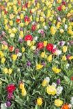 Tulipas amarelas e vermelhas Fotos de Stock