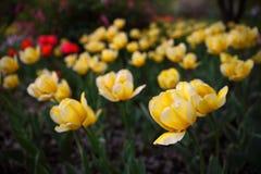 Tulipas amarelas e vermelhas em um close up do jardim, primavera foto de stock royalty free