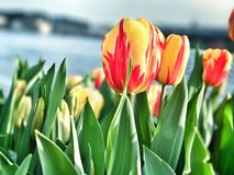 Tulipas amarelas e vermelhas holandesas em Amsterdão Imagens de Stock Royalty Free