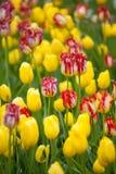 Tulipas amarelas e vermelhas no jardim Foto de Stock Royalty Free