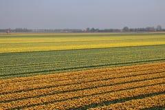 Tulipas amarelas e vermelho-amarelas em seguido em um campo de flor em Oude- Foto de Stock Royalty Free