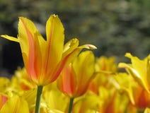 Tulipas amarelas isoladas com laranja, listrar cor-de-rosa fotos de stock royalty free