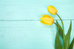 Tulipas amarelas na luz de madeira - fundo azul Imagem de Stock