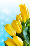 Tulipas amarelas Imagens de Stock