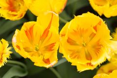 Tulipas amarelas no fundo da natureza imagens de stock royalty free