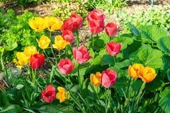 Tulipas amarelas, vermelhas, e alaranjadas bonitas, entre as folhas verdes, em um dia de mola adiantado morno e ensolarado fotografia de stock royalty free