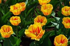 tulipas Amarelo-vermelhas Fotografia de Stock Royalty Free
