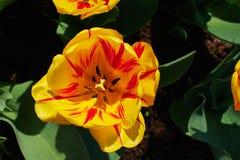 tulipas Amarelo-vermelhas Fotos de Stock Royalty Free